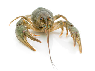crayfish on a white background close-up