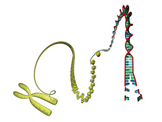 DNA Nucleosome Chromosom