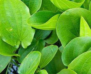 Green leaf of lotus closeup detail