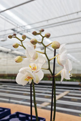 White orchids in greenhouse