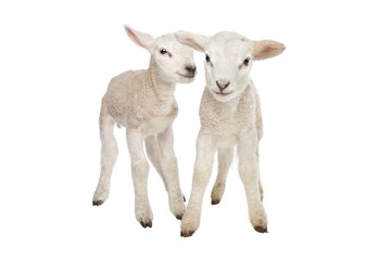 Two little lambs