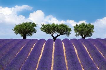 Spoed Fotobehang Lavendel Plateau de Valensole : Lavande #2