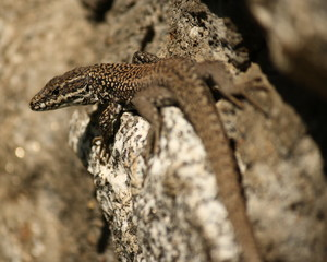 detail of common lizard