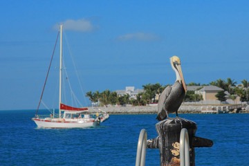 Key west's Pelican