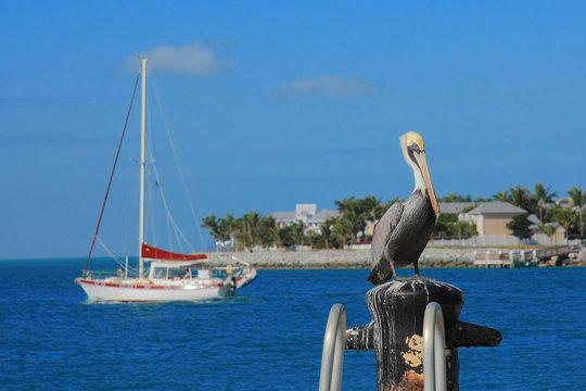 Key west's Pelican