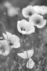 Wall Mural - White poppies on b/w field