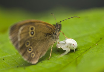 Attack Misumena vatia on Aphantopus hyperantus