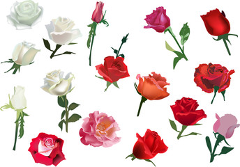 set of isolated white and red rose flowers