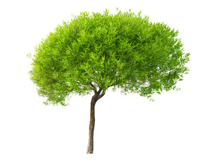isolated small tree with young leaves