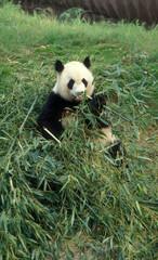 Cina. Chengdu Parco dei Panda