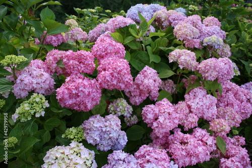 """Belle Image Rose Bleu hortensia bleu rose vert zoom fleur belle dehors fond"""" stock photo"""