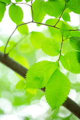 Young green leaves in summer morning
