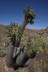 Halfmens (Pachypodium namaquanum) are indigenous to the Richters