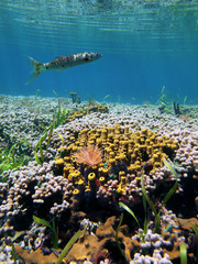Shallow coral reef underwater sea with sponges and a barracuda fish, Caribbean sea