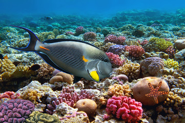 Aluminium Prints Under water Tropical fish Acanthurus sohal and Coral reef