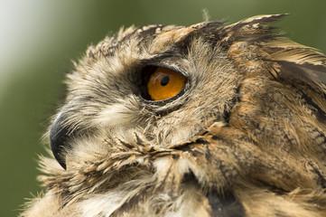 Papiers peints Chouette Owl