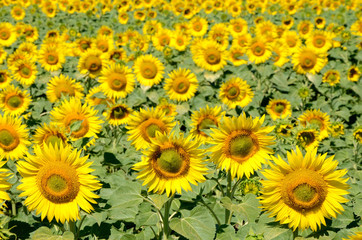 sunflowers on the field on a summer morning