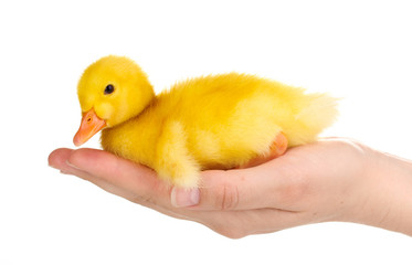 Duckling in hand isolated on white