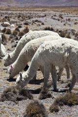 Alpaca Peruviani