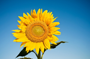 Beautiful yellow sunflower in the sun against blue sky