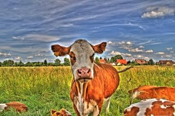 Kuh ~ Milchkuh ~ Rind - HDR Image