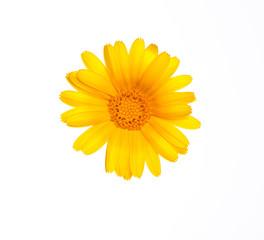 flower of calendula. Isolated on white background.