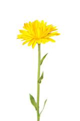 calendula, marigold