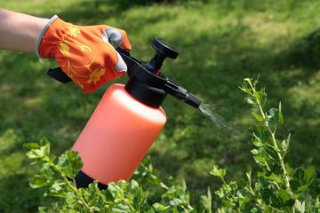 Spraying gooseberry bush against pests
