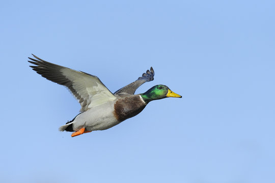Colorful male mallard duck in flight against blue sky
