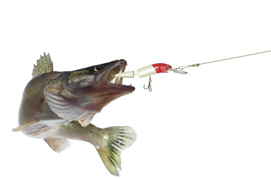 long zander and bait