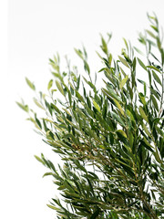 Olive tree branches isolated