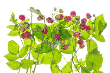 Raspberry bush concept