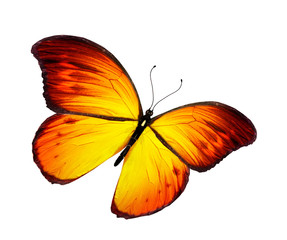 Orange butterfly flying, isolated on white background