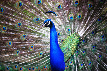 Stock Photo: beautiful peacock with feathers out