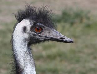 Foto auf AluDibond Straus emu