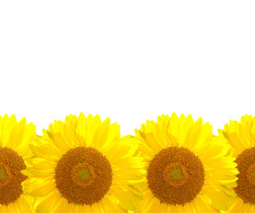 The sunflower background