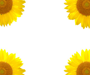 The sunflower summer background