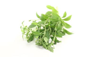 grünes Stevia mit weißen Blüten