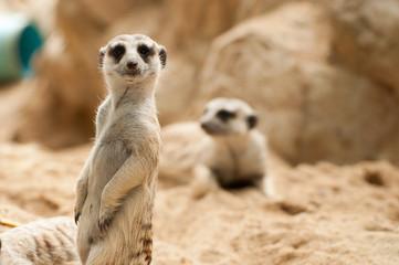 Meerkat position standing watchful guard