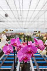 Colorful orchids in greenhouse