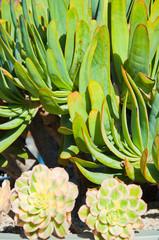 Peacock Echeveria Cactus