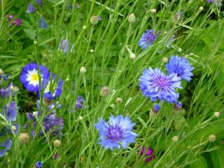 Wiesenblumen blau