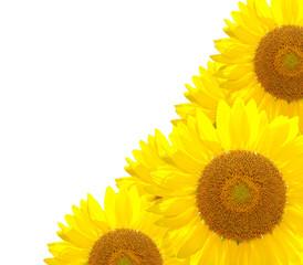 sunflower nature