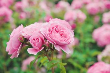 Pattern rose bush