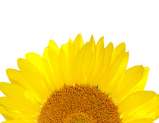 beautiful yellow Sunflower petals close up