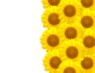The yellow Sunflower on the white background
