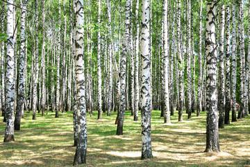 Keuken foto achterwand Berkbosje Birches