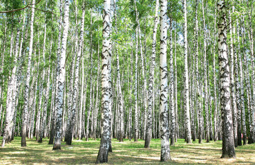 Garden Poster Birch Grove Birch grove in july