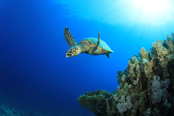 Hawksbill Sea Turtle swims past coral reef