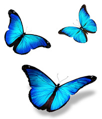 """Three blue butterfly """"morpho"""", isolated on white background"""